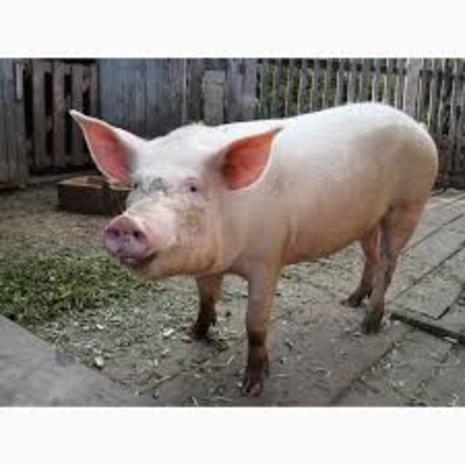 Сельхоз свиньи