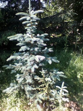 Ялина колюча, Ель колючая, сизая (Picea pungens), высота 40-60 см
