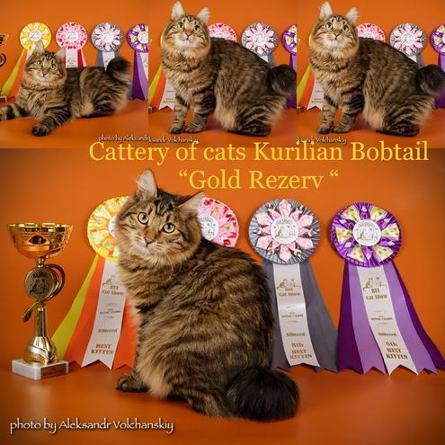 Клубные котята курильский бобтейл