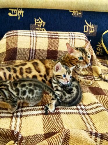 Чистокровные леопардики